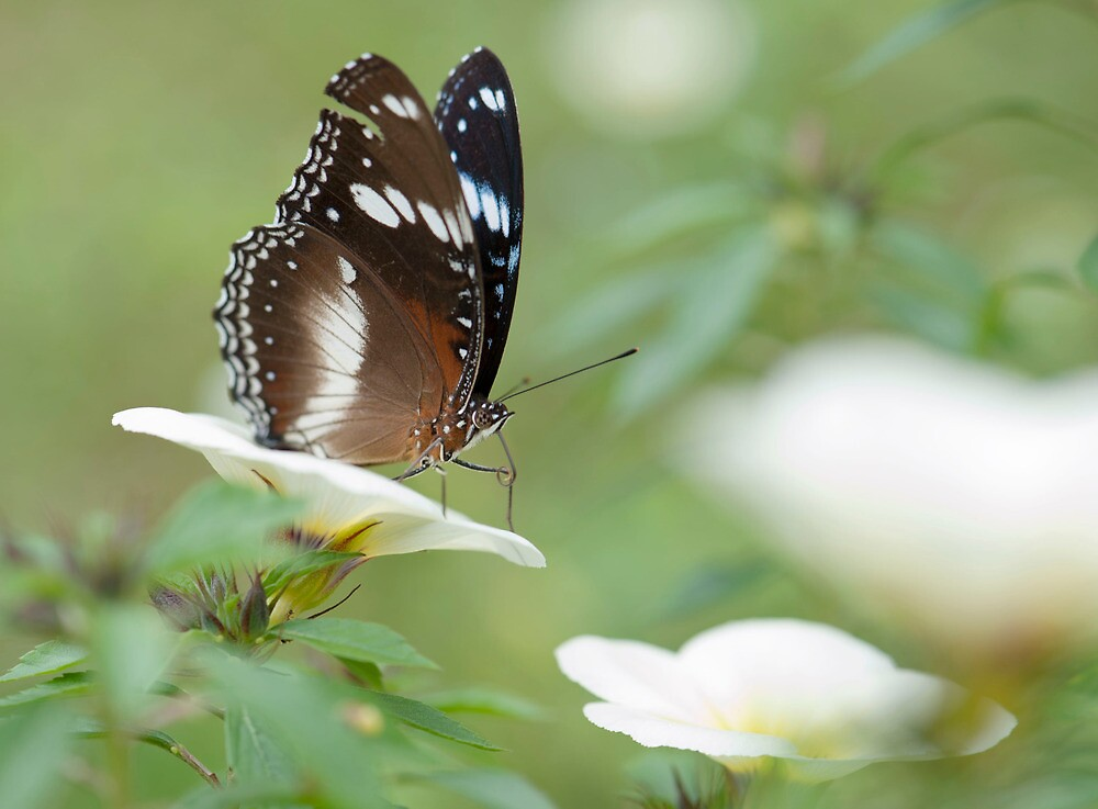 The Poser - common crow butterfly by Jenny Dean