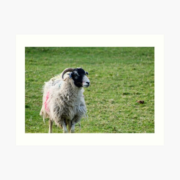 Black Faced Sheep In A Field Art Print