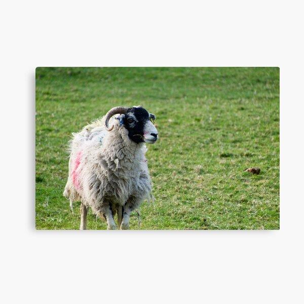 Black Faced Sheep In A Field Canvas Print