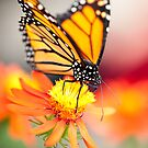Butterfly 13 by Jacinthe Brault