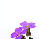 Two flowers by Hans Kool