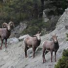 Rocky Mountain Sheep by KansasA