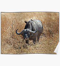 Cape Buffalo with Oxpecker. Poster