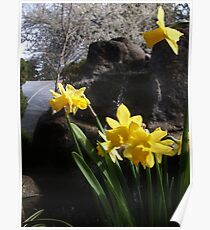 Spring Dafodils Poster