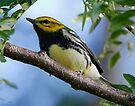 Black Throated Green Warbler by Dennis Cheeseman