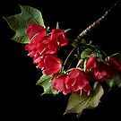 Dombeya by Endre