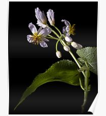 Sparmannia Africana Poster