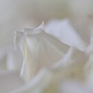 White roses by Hege Nolan