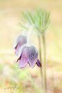 Spring beauty by aMOONy