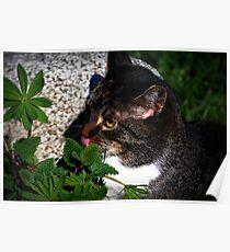 Bootsie Getting Alittle Cat Nip Poster