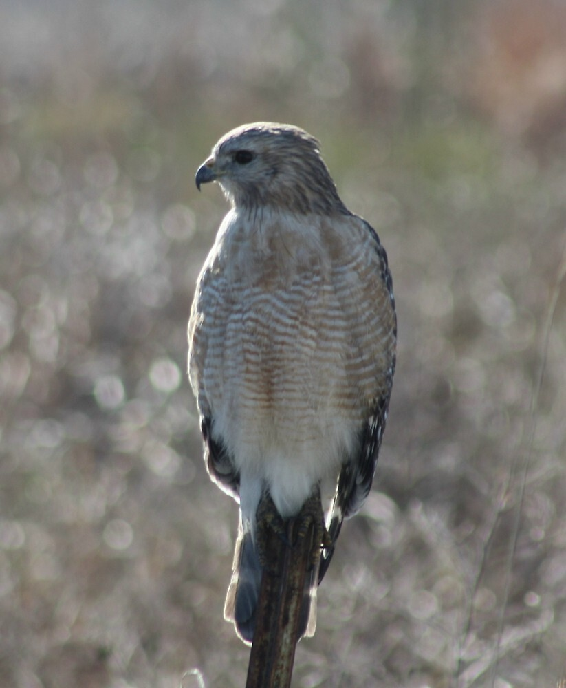 red tailed hawk by cliffordc1