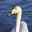Confused Swan by dilouise