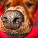 Doxie Nose....Larger than life by BShirey
