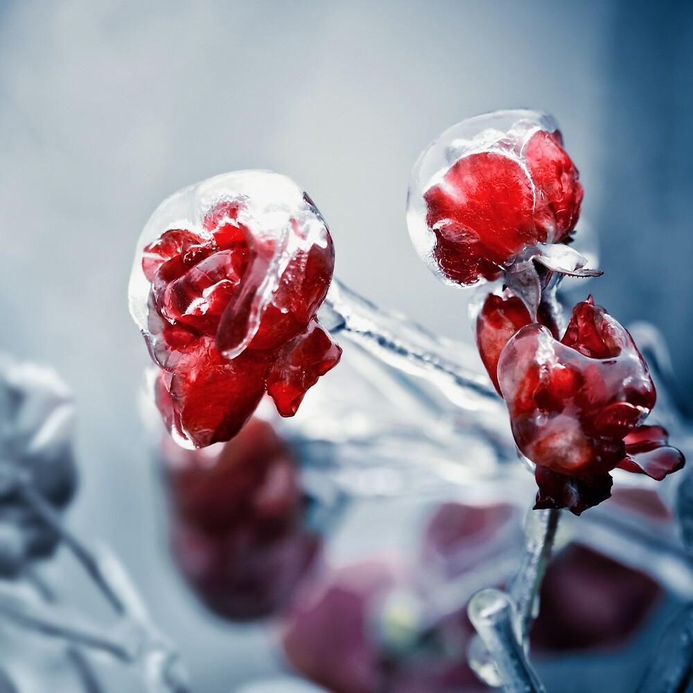 Iced roses 2 by DanielVijoi