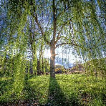 Weep Willow, Weep by boblarsonphoto