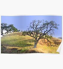 hillside slow growth oak tree Poster