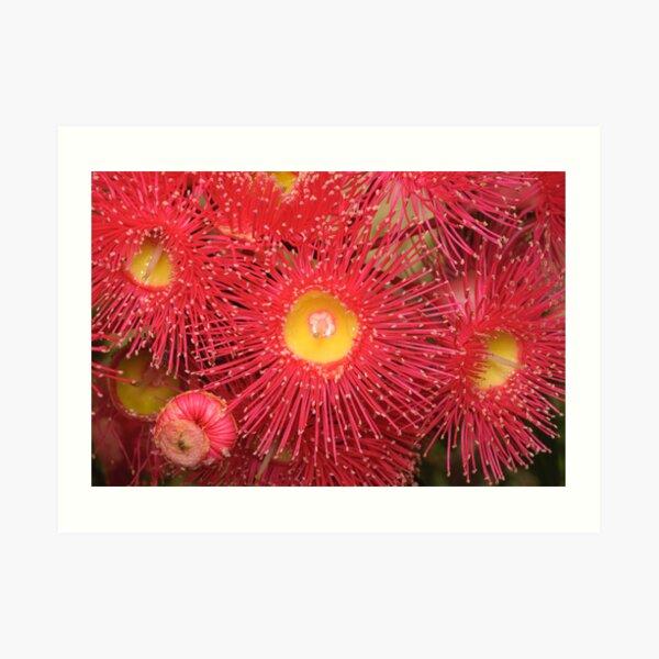 Red-flowering Gum Flower Art Print