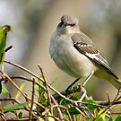 Mockingbird by Xcarguy