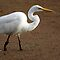 CATTLE EGRETS ARE BEAUTIFUL