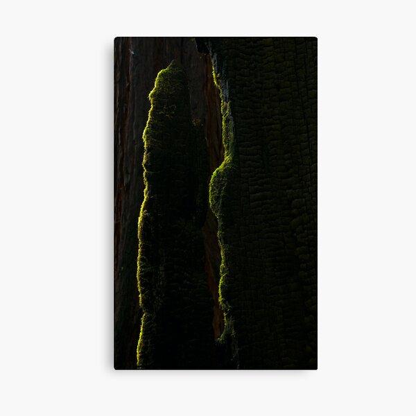 Moss on burned Redwood Canvas Print
