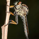 Common Yellow Robberfly - Ommatius sp. by Andrew Trevor-Jones