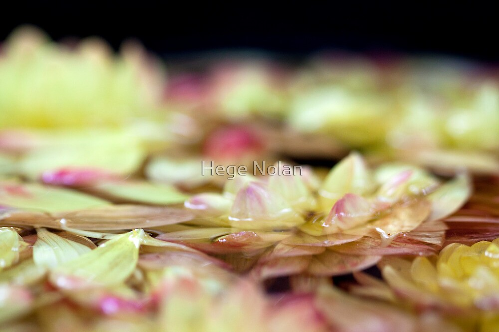 Lily Pad by Hege Nolan