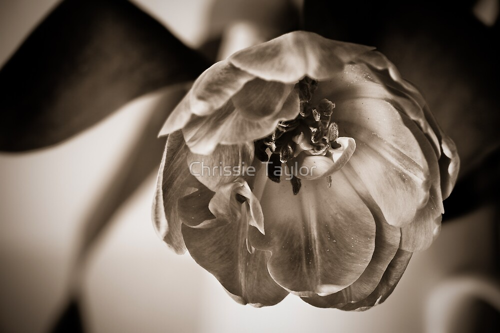Tulip - Split Toned  by Chrissie Taylor