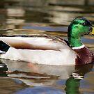 Mallard Duck by Marija