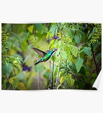 My Secret Garden, Violet Eared Hummingbird. Poster