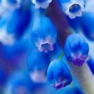 Grape hyacinth by EventHorizon