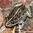 Spotted Marsh Frog by EnviroKey