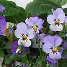 Viola Panorama by Marjorie Wallace