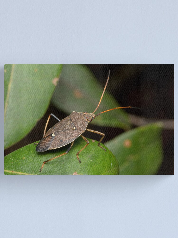 Alternate view of Two-spotted Gum Tree Shield Bug - Poecilometis parilis Canvas Print