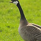 Rude Canada Goose by Robert Abraham