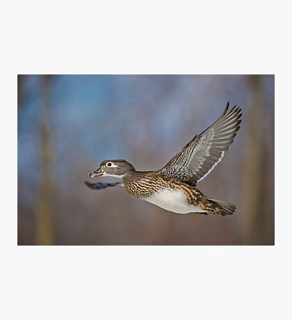 Flight of the Female Wood Duck Photographic Print
