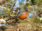 Robin by Ginny York