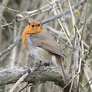 Vocal Robin by dilouise