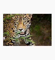 Jaguar on the Hunt Photographic Print