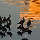 Wading Willets by Gloria Abbey