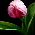 Tumescent Tulip by Brian Thedell