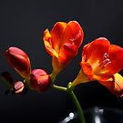 Sunset Bloom - Freesia in Orange and Red by Brian Thedell