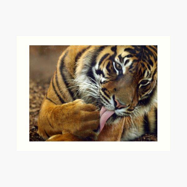 Tiger II Art Print