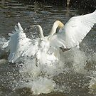 Dualing Swans by Robert Abraham