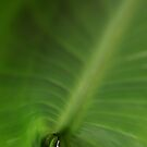 Leaf Unfurling by glennc70000