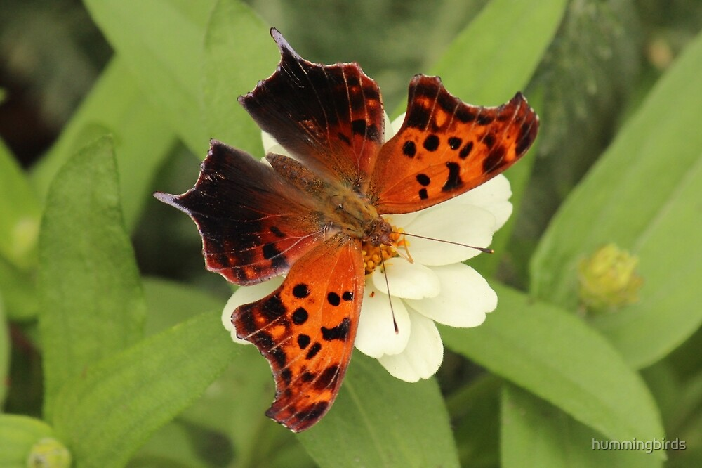 Question Mark Butterfly by hummingbirds