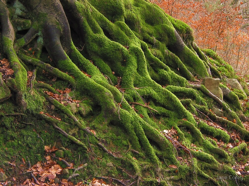 Tree roots by Jane Corey