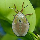 Bronze Orange Stink Bug Nymph - Musgraveia sulciventris by Andrew Trevor-Jones