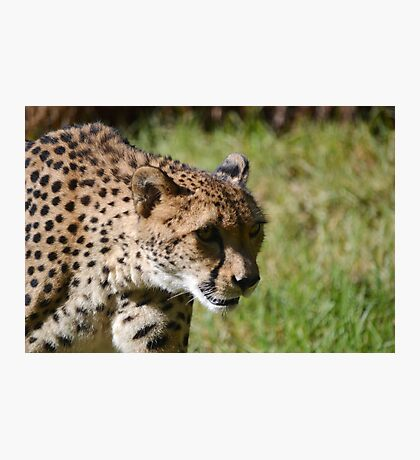 Kifani the Cheetah Photographic Print