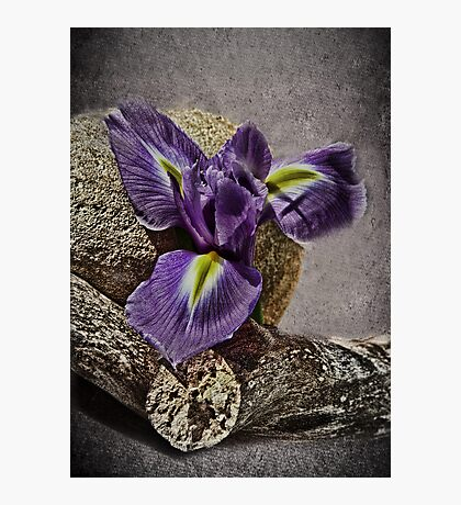 Bearded Iris -  Still Life Photographic Print