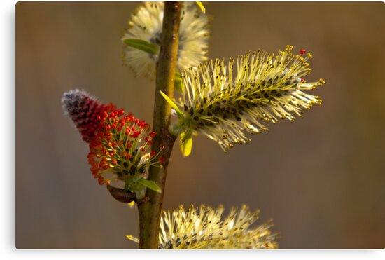 Plant, Goat willow, Salix caprea, catkins by Hugh McKean